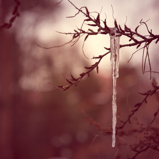 Icicle on a tree branch or spring on the nose