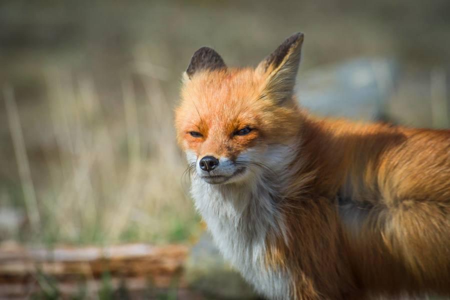 фото злого лиса раскатывать силиконовом коврике