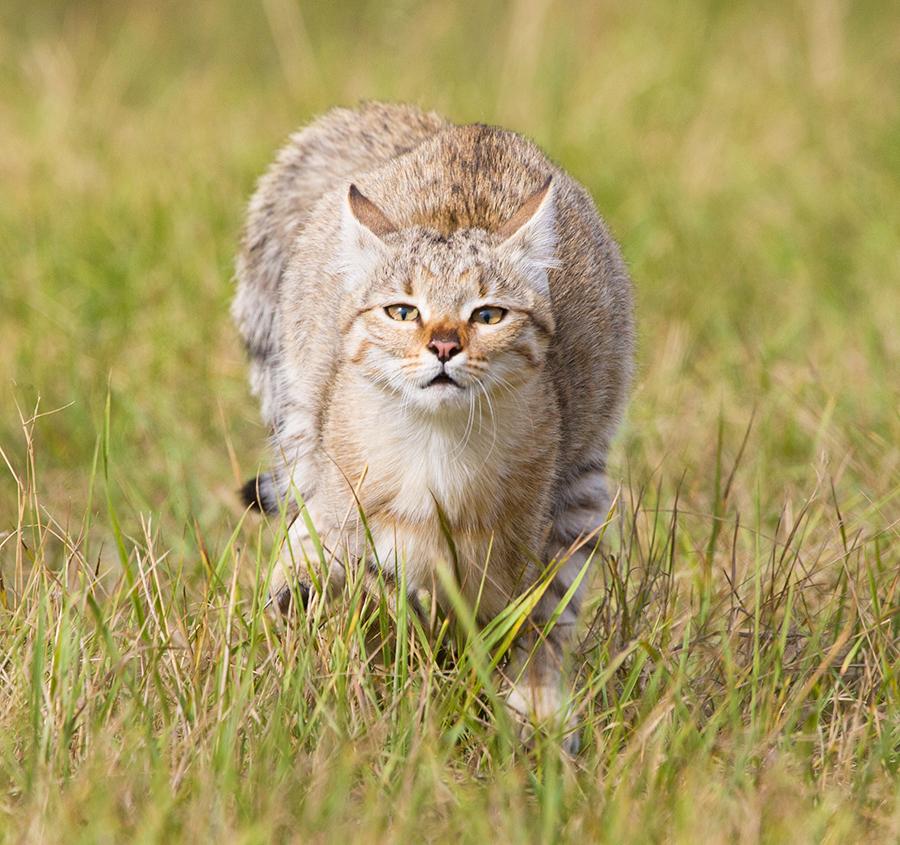 все горные котята дикой степной кошки фото того